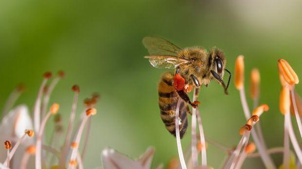 Mit ihren sechs Beinen finden Bienen auf jeder Blüte optimalen Halt – und das...