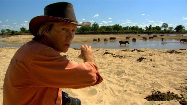 Der bekannte Naturfotograf Austin Stevens ist in Sambia auf der Pirsch nach N...