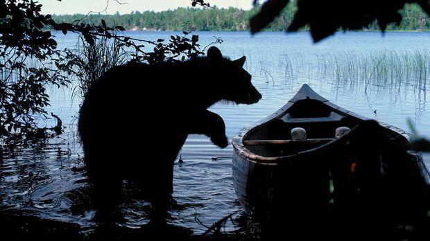 Der Schwarzbär weiß nicht, was er mit dem Kanu anfangen soll, aber sein Inter...