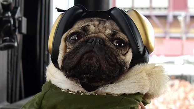 Doug the Pug im Fliegerkostüm