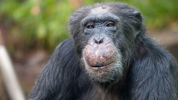 schimpanse-dpa © Verwendung weltweit, usage worldwide