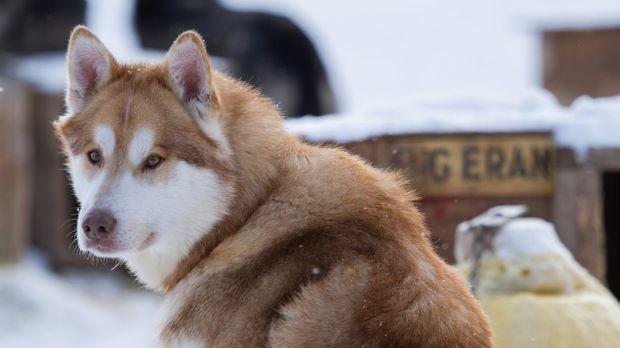 Der junge Hund Jack beginnt heute mit dem Schlittenhundetraining. © BBC World...