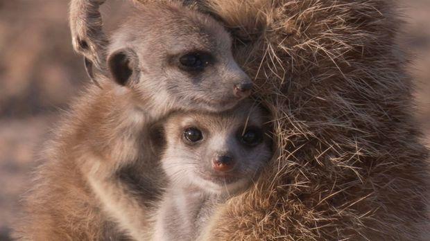 In der Kalahari Wüste in Südafrika zuhause: Erdmännchennjunges Swift. © BBC W...