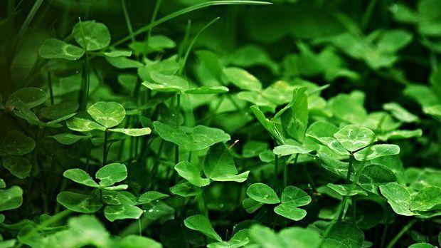 So hübsch ein einzelnes Kleeblatt auch ist: Für Gartenbesitzer ist das Unkrau...
