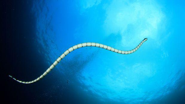 Unterwasser Aussichten: Der Nattern Plattschwanz ist im Pazifischen Ozean unt...