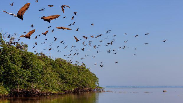 Flughunde sind meist in Kolonien unterwegs. Gruppen können bis zu einer Milli...