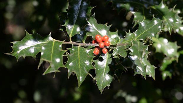 Stechpalme-Pflanze-Stacheln-pixabay