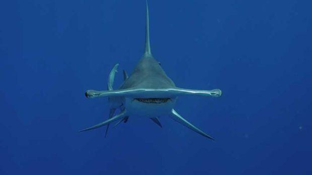 Hammerhaie zählen zu den außergewöhnlichsten Geschöpfen der Ozeane. Die selts...