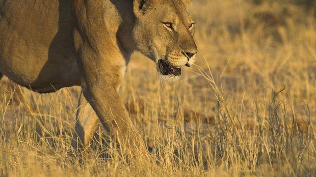 Planet Erde - In Botswana nutzen die Löwen die riesigen Grasflächen als Wohn-...