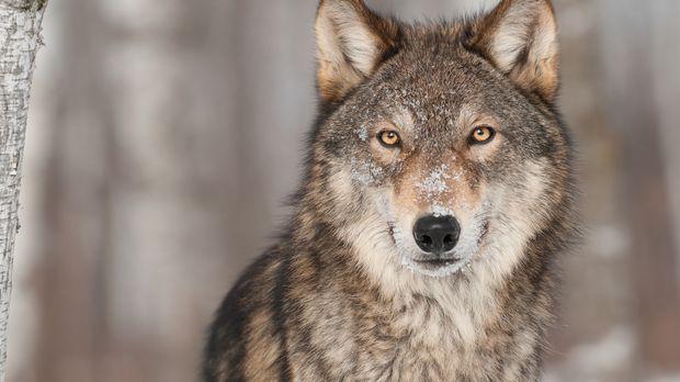 wolf-fotolia © hkuchera - Fotolia