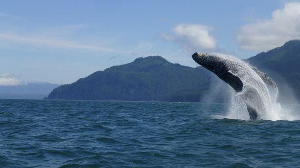 Vor der Küste Alaskas bricht ein Buckelwal aus den blauen Fluten ... © Ruth H...