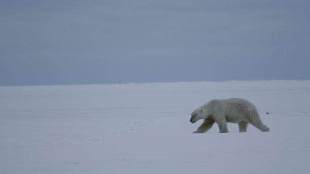 Selbst die flauschig und süß wirkenden Polarbären können für den Menschen töd...