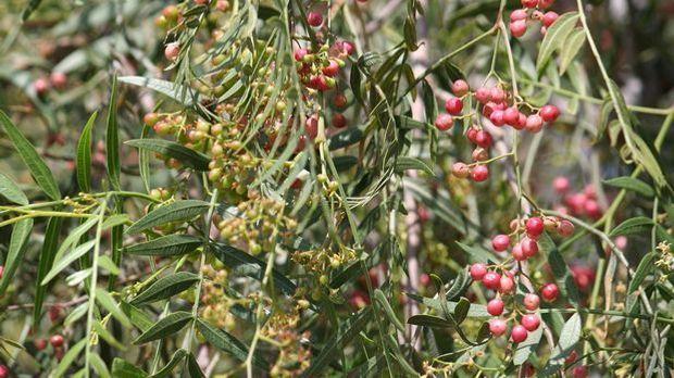 Pfefferpflanze: Kletterpflanze mit Beeren