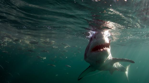 Colossus: Der weiße Riesenhai lebt wenige Kilometer vor der Küste von Südafri...